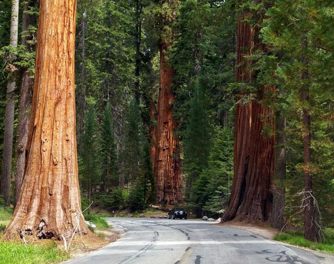 USA, Westen, Sequoia Trees